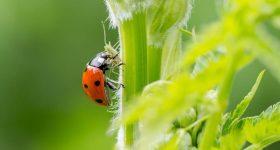 Using Pest Predators for Garden Pest Control