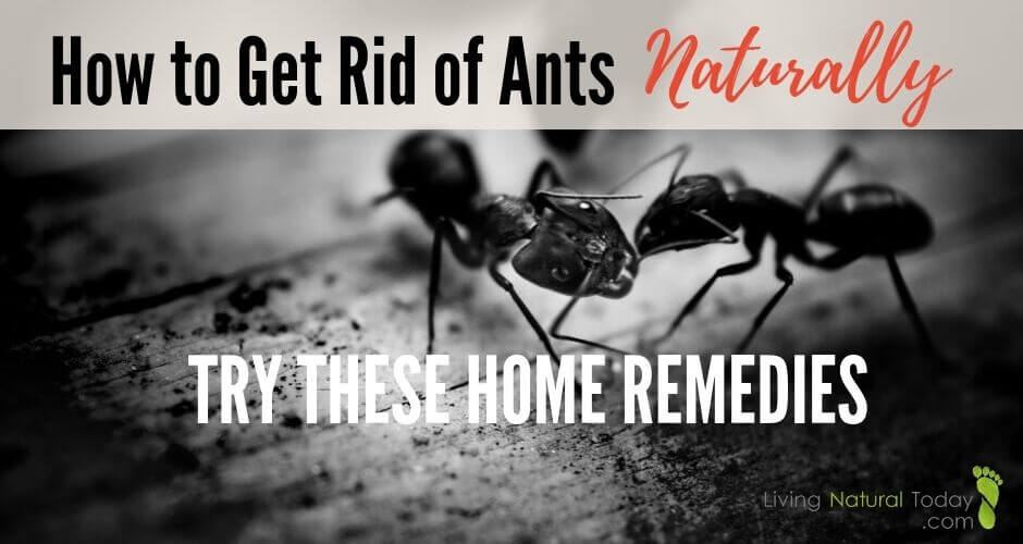 home remedies to get rid of ants